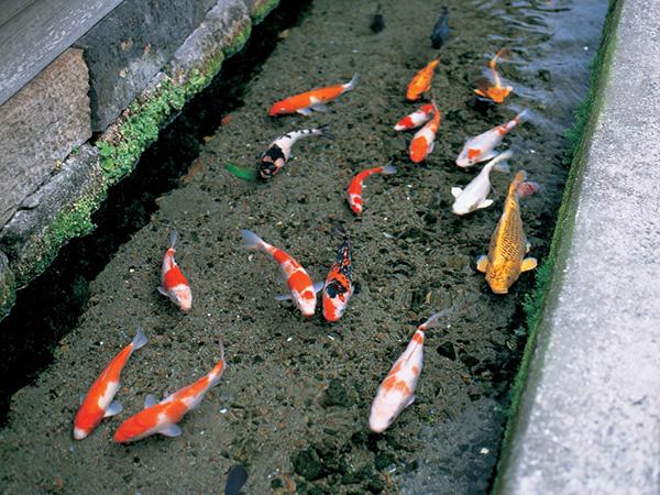 錦鯉が水路を泳ぐ
